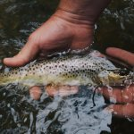 Native River Brown Trout